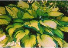 Hosta-Green & Gold 25+ seeds Buy 2 Get 1 free until March 24 2020 perennial