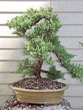 Old Specimen Bonsai Japanese Dwarf Juniper Bonsai Tree #124