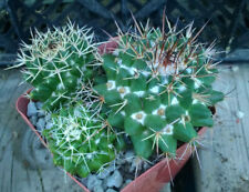 Mammillaria nejapensis Light Tan Drooping Spines Cactus