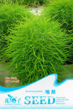 Original Package 100 Summer Cypress Seeds Kochia Scoparia Chenopodium Plant F013