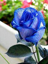 Blue Rose Bush Seeds - Rare, Exotic & Beautiful  (20+ pc) USA SELLER, SHIPS FREE