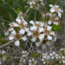 Leptospermum arachnoides (Tea Tree) in 50mm forestry tubes native plant