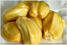Jackfruit Seed, Tropical Novelty ,Worlds Largest Fruit ! - 7 Fresh Seeds