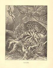 Jaguar, Stanking, Ground Hog Or Nutria, African Vintage 1898 Antique Art Print 2