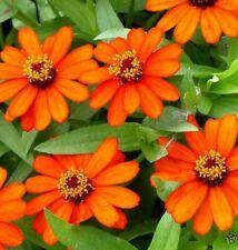 MAMBO ORANGE Zinnia angustifolia petite flowers plants - 4cell seedling punnet