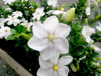 Tree or Thunbergs Gardenia Seed Heavy Exquisite Scent Small Evergreen Tree Hardy