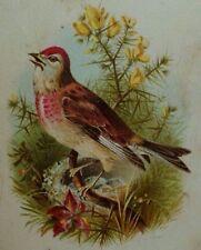 1870's-80's Victorian Trade Card Rose Linnet Wild-Bird Image Fabulous! P39