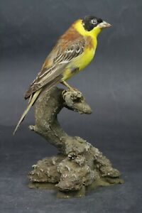 Taxidermy-hunting-chasse-präparat- Black-headed Bunting with permit