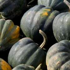 Squash Winter Acorn Table Queen Seeds 20 Ct Vegetable NON-GMO USA FREE SHIPPING