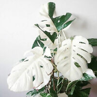 100PCS White Monstera Seeds Houseplant Bonsai Turtle Leaves Plant Palm Tree Home