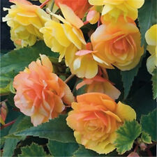 50pcs Beautiful Begonia Flower Seeds Mix Colors Perennial Potted Bonsai Garden