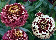 Ex096 Zinnia Haageana Aztec Burgundy Bicolor x25 seeds Rare Unusual Flower