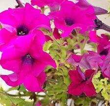 0,5 gr Petunia Colorama Hibrida Variada (Petunia Hybrida) (S) 5000 Sem/gr Aprox