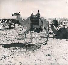 SYRIE c. 1940 -  Tribue Chamelière  Bédouins   - DIV 7318