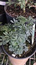 "Ruda Plant - Common Rue (Ruta graveolens) Herb of Grace - Ship in 3"" Tall Pot"