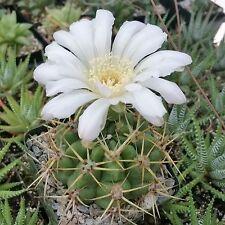 Gymnocalycium Multiflorum Cactus Cacti Succulent Real Live Plant