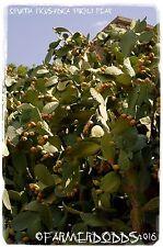 "Opuntia ficus-indica fico d'india"""" ""Barbary FIG"" 15+ Semi"