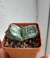 Gasteria Nigricans Variegated collectors succulent / cactus