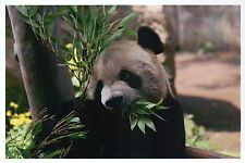 Giant Panda Bear Eating Bamboo Shoots, Animal of China, Cute - Modern Postcard