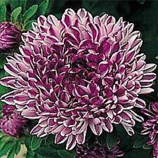 Aster callistephus ' Blue Ribbon' / Aster / Half Hardy Annual / 50 Seeds