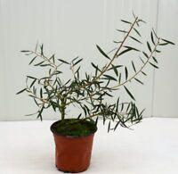 Pianta Callistemon Rosso, Arbusto di Callistemone in  Vaso 14cm