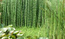 Equisetum hyemale prele geante plante bassin palustre facile