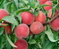 Red Haven Peach Tree - Hardy - Healthy - Established - 1 Bareroot Plant