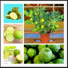 Key Lime Bonsai Fruit Citrus Aurantifolia 30 PCS Seeds Lemon Tree Garden NEW I K