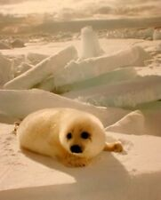 Cute Baby Harp Seal Pup In Snow Animal Nature Wall Art Print Poster (8x10)