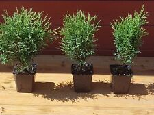 Lebensbaum Thuja occidentalis  Tiny Tim T.B.9 20-25 cm  25 Stück