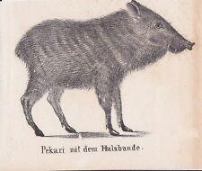 Pekari halsbandpekari pecari tajacu Nabel suini litografia di 1831 Schinz