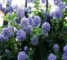 30 Deerbrush Ceanothus (Ceanothus integerrimus) seeds Fragrant/Tree CombSH
