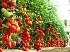 Giant Tree Tomato 10 Vegetable Seeds