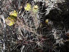 Cylindropuntia whipplei Cactus 50 seeds (2017 harvest)