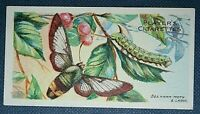 BEE HAWK MOTH & CATERPILLAR    Original 1904 Small Colour Card