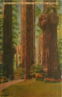 Linen Postcard CA L013 Burl on a Redwood Tree Redwood Empire Cancel 1948