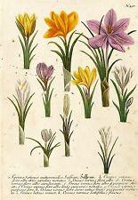 Krokusse-azafrán & primavera-Krokus-Weinmann-kolorierter grabado 1739