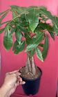 Money Tree Live Plant - Pachira aquatica- 6 Pot