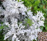 SILVER DUST - Dusty Miller - 500 seeds - Cineraria Maritima - Annual flowe#960
