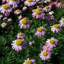 Chrysanthemum- Robinson Rose- 200 Seeds