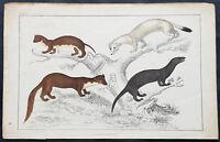 1830 Oliver Goldsmith Antique Print of Zibet, Fossane, Malacca Genet - Pl LXXII