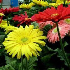 Gerbera jamesonii 'Single Flowered Hybrids' Mix Seeds 50 seeds