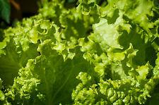 Pflücksalat grün GRAND RAPID 200 Samen Salat