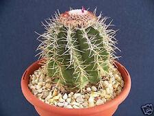 Melocactus Azureus exotic succulent cacti rare outdoors cactus seed 100 SEEDS