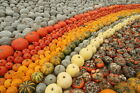 Pumpkin-OVER 175 HEIRLOOM VARIETIES-15 MIXED, UNCOMMON SEEDS