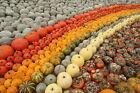 Pumpkin-OVER 150 HEIRLOOM VARIETIES-15 MIXED SEEDS