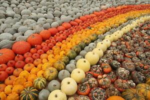 Pumpkin-OVER 200 HEIRLOOM VARIETIES-15 MIXED, UNCOMMON SEEDS
