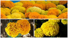 0.5g (app.150) giant ahito/ Aztec marigold seeds SUNSET GIANTS DOUBLE big blooms