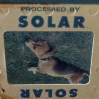 Vintage Beagle Dog 35mm Slide Laying In Grass Solar Mid Century America
