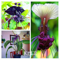 100 PCS Seeds Rare Tacca Integrifolia Bonsai Plants Flowers Ornamental 2019 New